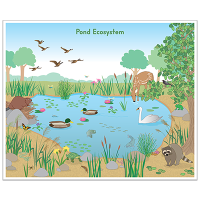 Detailed view of Pond Ecosystem Poster